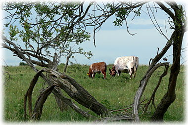 Shorthorns on pasture